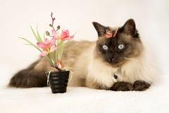 Syjamski błękitnooki kot kłama blisko sztucznego kwiatu z motylem na głowie fotografia royalty free