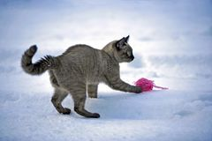Syjamski kot bawić się z różową wełny piłką w śniegu fotografia royalty free