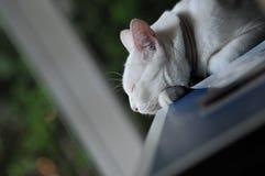 Syjamski kot jest Tajlandzkim domowym kotem, zwierzęciem domowym w domu, pięknym białym kotem i niebieskim okiem, bardzo osamotni zdjęcia royalty free