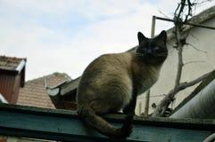 Syjamski kot na drewnianym ogrodzeniu Miłość Animals fotografia stock