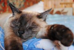 Syjamski kot pokojowo uśpiony z jego głową na jego frontowych łapach ex fotografia stock