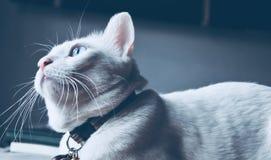Syjamski kot siedzi na łóżkowym i przyglądającym okno out, biały kot patrzeje ptaki z niebieskimi oczami Zdjęcia Royalty Free