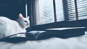 Syjamski kot siedzi na łóżkowym i przyglądającym okno out, biały kot patrzeje ptaki z niebieskimi oczami Obraz Stock