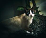 Syjamski kot z pięknymi niebieskimi oczami Zdjęcia Stock