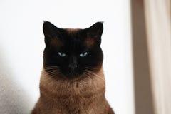 Syjamski kot z zwężającymi się oczami i groźnym spojrzeniem obrazy royalty free