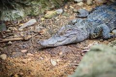 Syjamski krokodyla crocodylus siamensis kryje depresję na ziemi Zdjęcia Stock