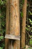 Syjamski rosewood drzewo w parku narodowym zdjęcia stock