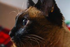 Syjamski Tajlandzki kot patrzeje ostrożnie oddalonym Portret kot z niebieskimi oczami Zdjęcie Royalty Free