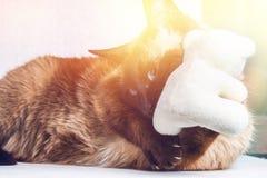 Syjamskie Tajlandzkie kot sztuki z misiem Pazury, zęby, agresja Zdjęcia Stock