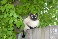 Syjamskiego kota traken siedzi na ogrodzeniu Obraz Royalty Free