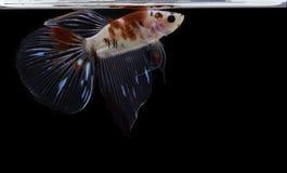 Syjamskiej bój ryby kolorowa ryba na czarnym tle, Halfmoon Betta fotografia stock