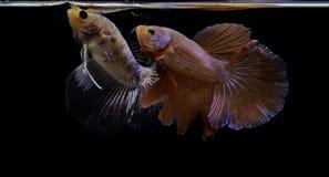 Syjamskiej bój ryby kolorowa ryba na czarnym tle, Halfmoon Betta zdjęcie royalty free