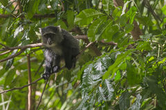 Sykes` aap in Tanzania stock afbeelding