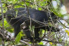 Sykes` aap in Tanzania royalty-vrije stock afbeeldingen