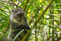Sykes-Affe in Jozani-Wald, Sansibar, Tansania Lizenzfreie Stockfotos