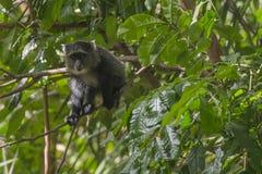 Sykes-` Affe in Tansania Stockbild