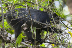 Sykes-` Affe in Tansania Lizenzfreie Stockbilder