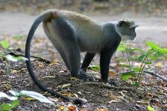 Sykes Monkey. Female sykes monkey, Cercopithecus mitis albogularis Stock Images