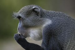 Sykes Monkey Stock Images