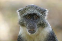 Sykes Monkey. Portrait of sykes monkey Royalty Free Stock Photo