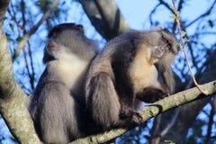 Sykes Monkey che graffia il suo orecchio Fotografia Stock