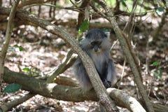Sykes Monkey che guarda giù Fotografia Stock Libera da Diritti