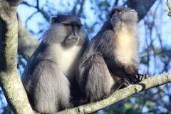 Sykes Monkey che guarda intorno Fotografia Stock