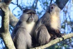 Sykes Monkey che sbadiglia Fotografia Stock