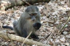 Sykes Monkey che si alimenta frutta Fotografia Stock Libera da Diritti