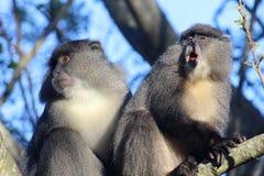 Sykes Monkey che urla Fotografia Stock Libera da Diritti
