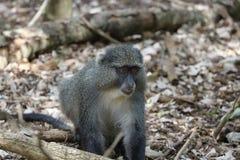 Sykes Monkey, der nach Lebensmittel sucht Lizenzfreie Stockfotos