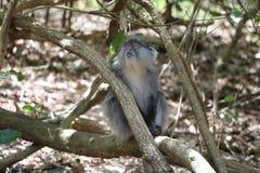 Sykes Monkey, der oben schaut Lizenzfreie Stockfotos