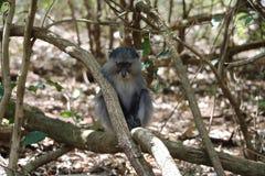 Sykes Monkey, der unten schaut Lizenzfreie Stockfotografie