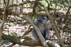 Sykes Monkey, der unten schaut Stockbilder