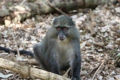 Sykes Monkey die rond kijken Royalty-vrije Stock Afbeeldingen