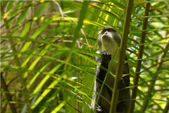 Sykes monkey in Jozani forest, Zanzibar, Tanzania royalty free stock image