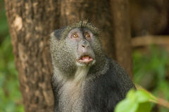 Sykes' Monkey With Look Of Concentration Royalty Free Stock Photos