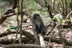 Sykes Monkey neer Royalty-vrije Stock Foto's