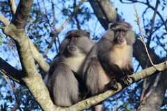 Sykes Monkey pair. Sykes Monkey captured in natural african landscape of Hluhluwe Imfolozi Reserve, KwaZulu-Natal, South Africa Royalty Free Stock Photos
