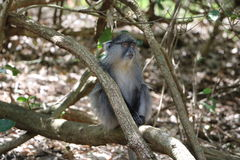 Sykes Monkey recherchant Image libre de droits