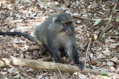 Sykes Monkey regardant autour de l'entourage Photos stock