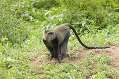 Sykes' Monkey Standing On Rock In Forest Royalty Free Stock Images