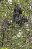 Sykes` monkey in Tanzania Royalty Free Stock Photos