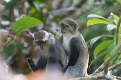 Sykes monkeys playfully sitting together. stock photo