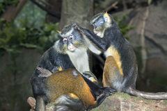 Sykes monkies grooming while mother holds her baby Royalty Free Stock Photography