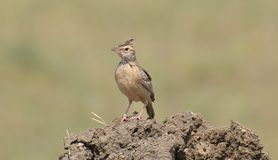 Sykess Lark (Galerida deva) or Sykess Crested Lark Royalty Free Stock Photos