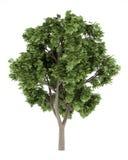 Sykomorebaum auf weißem Hintergrund Stockfotos