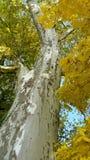 Sykomorträd royaltyfria bilder