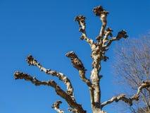 Sykomorträd i vinter, når att ha beskurit arkivfoton