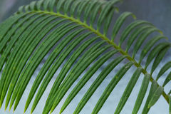 Sykus del ramo Alloggi la pianta Fotografie Stock